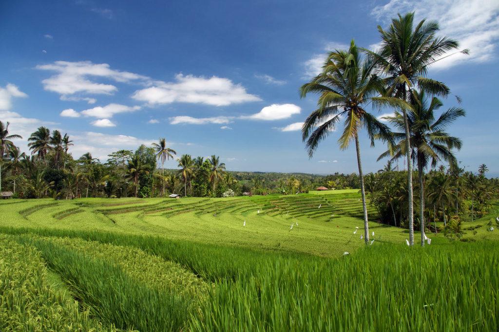 Belles rizières de Belimbing à Bali