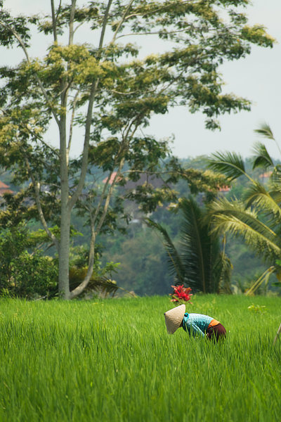Travail de nettoyage dans une rizière de Jatiluwih