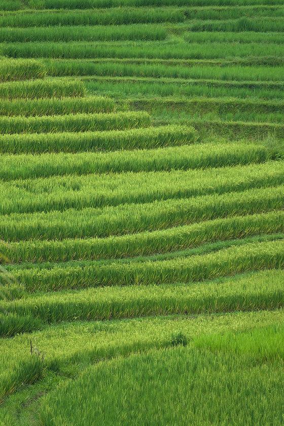 Graphisme des rizières en terrasse balinaises