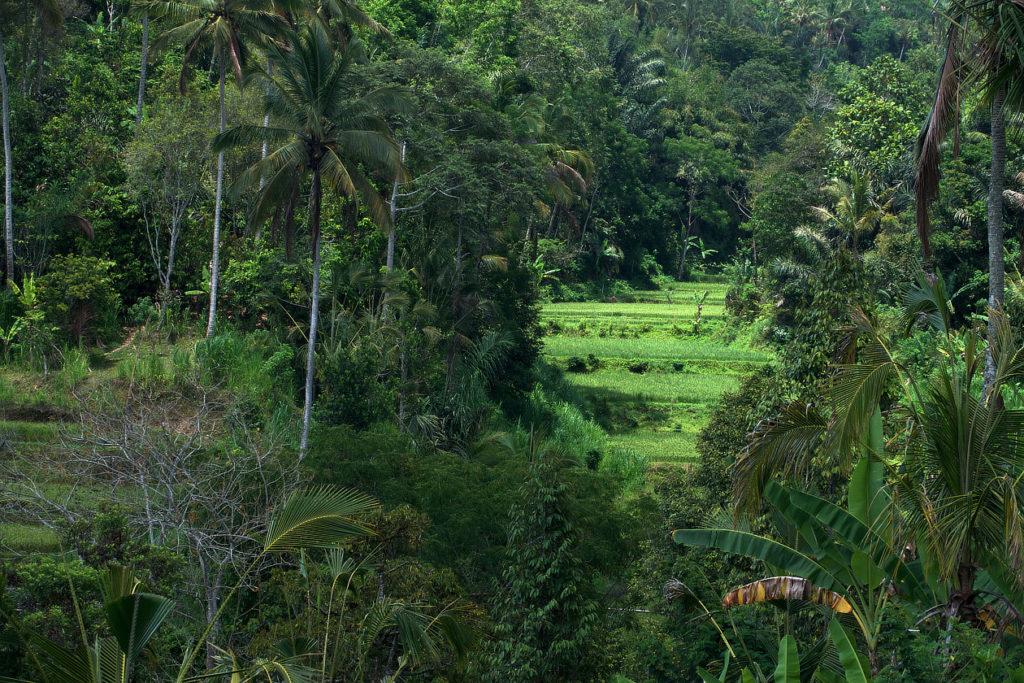 Rizière de Sulangai