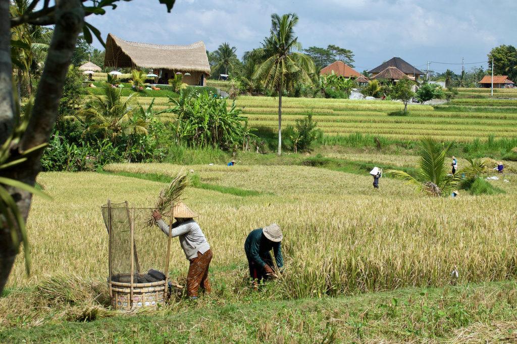 Moisson autour d'Ubud
