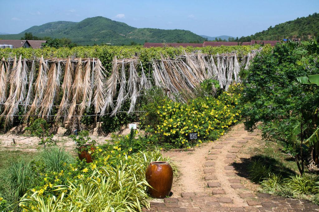 Plants de poivre à La Plantation près de Kampot